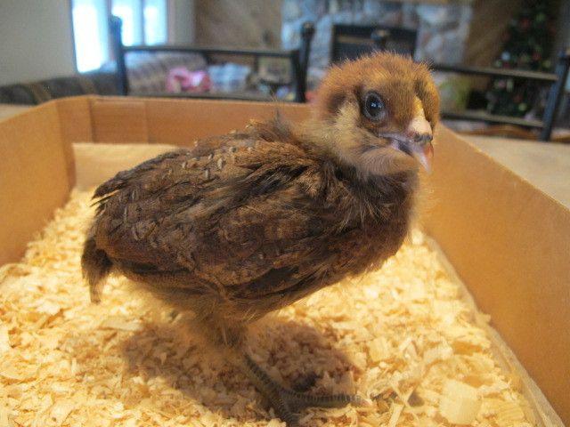 Baby Chicks! 023.JPG
