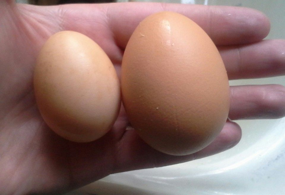 Dec. 22, 2015.  Today I found the little egg in the other chicken coop.  It's the first egg laid by my second flock of chickens, a black star if I'm correct. She is 6 months and 10 days old.  (the other egg is from my older red star).  I'm so proud!!