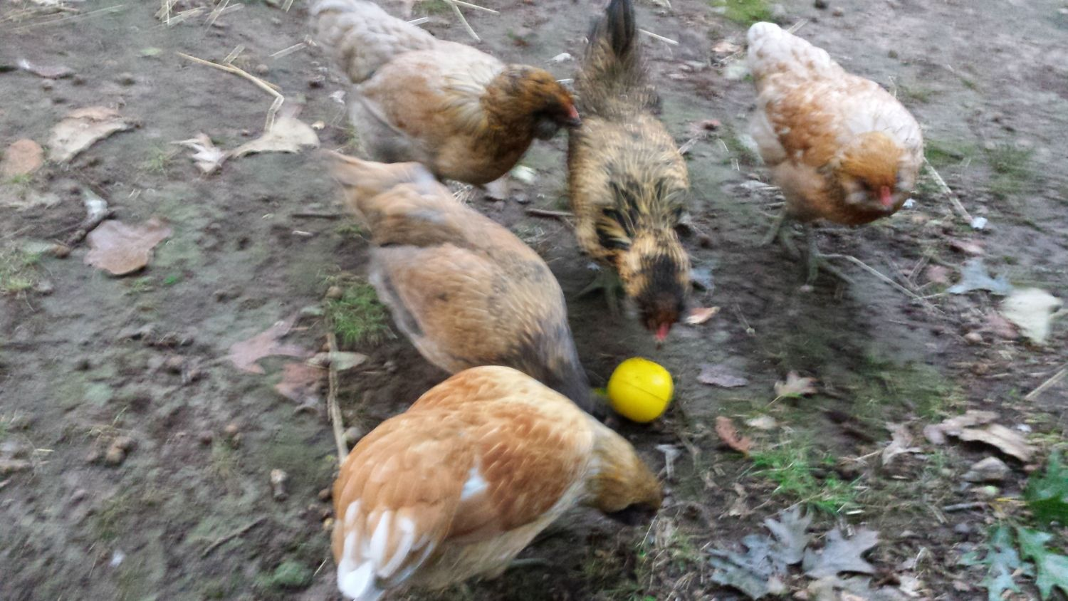 They all LOVE to play with the new chicken toy! I fill it with goat feed