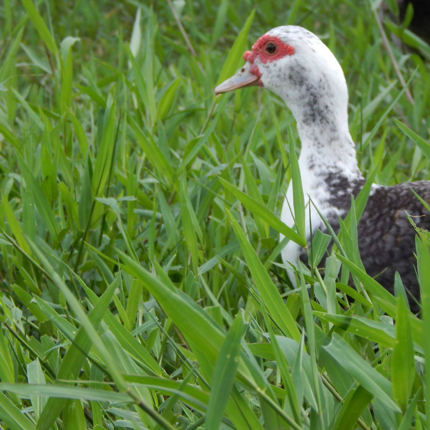 Meg, one of my older females, still sweet and beautiful. Foraging in lush grass.