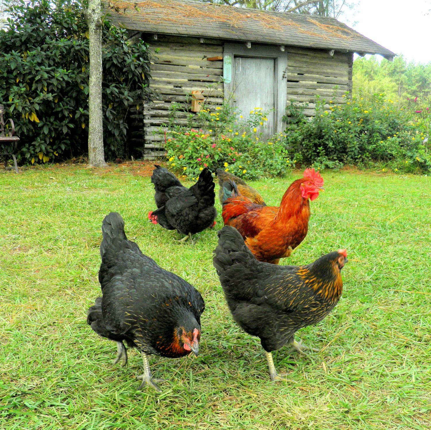 A few of my hens and the rooster in front of the old cook house