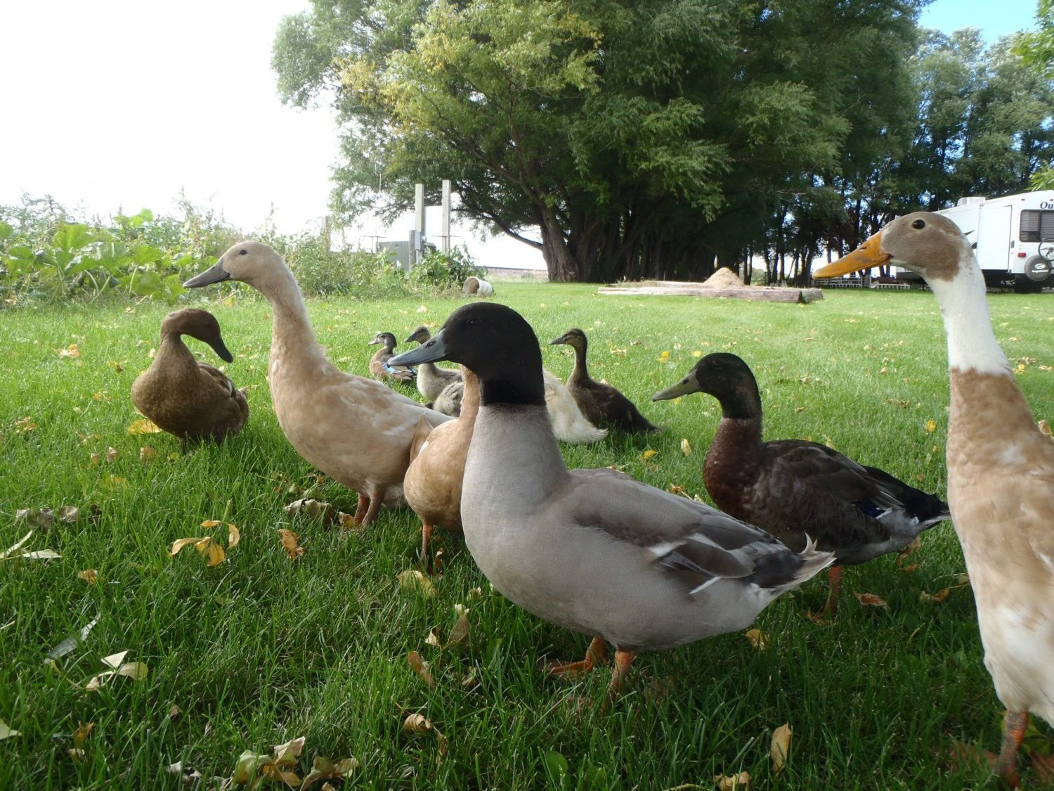 NathanZee's photos in Mixed Breed Ducks!