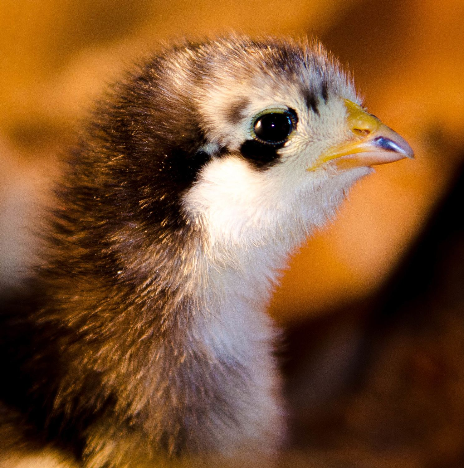 SueT's photos in Contest #3 Cutest Baby Fowl - 8th Annual BYC Easter Hatchalong