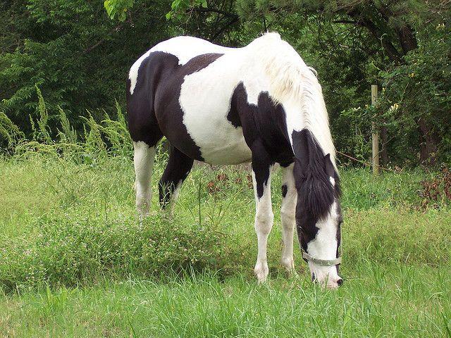 Black and white pinto horse - photo#18