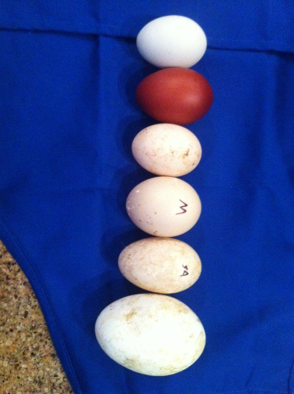 CelticOaksFarm's photos in PayPal/Hatching Eggs/Chicks Swap