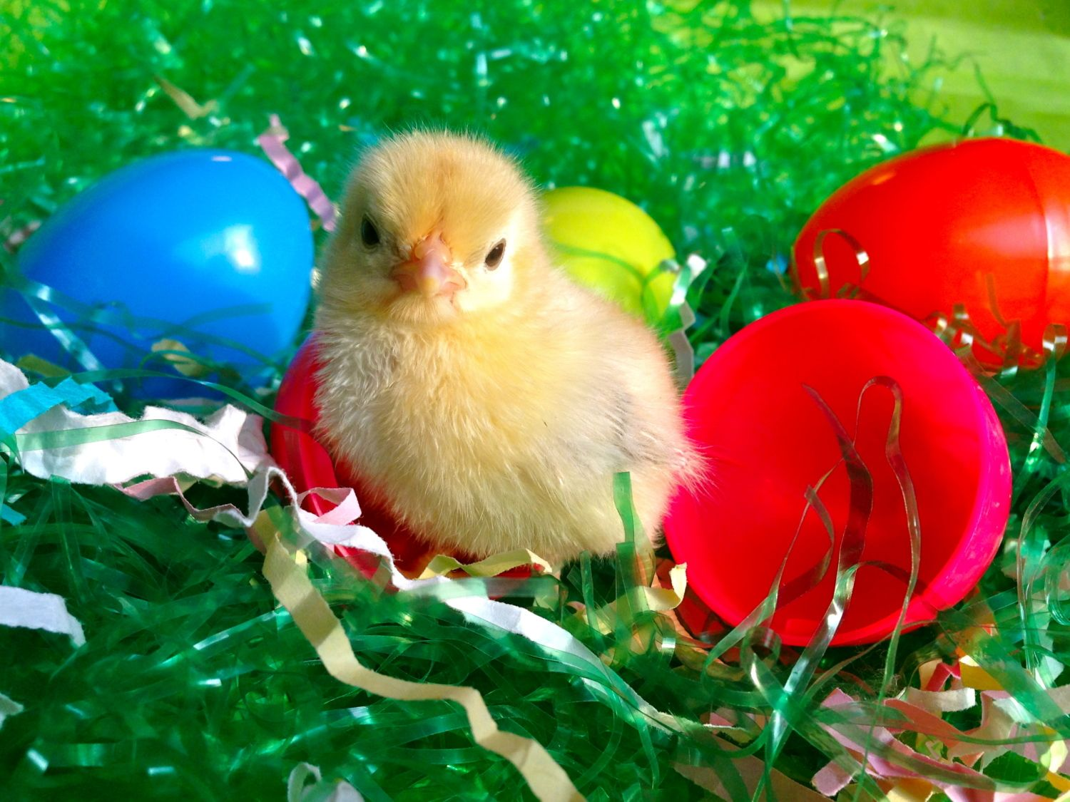 hokankai's photos in Contest #11 Easter/Spring Fowl Photo Contest! 5th Annual BYC Easter Hatch-a-long!