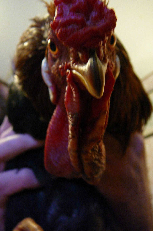 kellypepperk's photos in Frostbite Rooster Wattles - Swollen But Still Warm