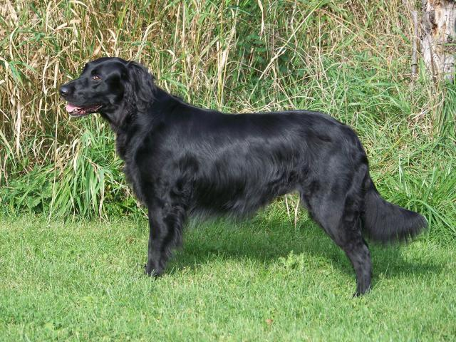 Clipper suggestions for Collie/Black lab mix long hair - Pet forum for ...
