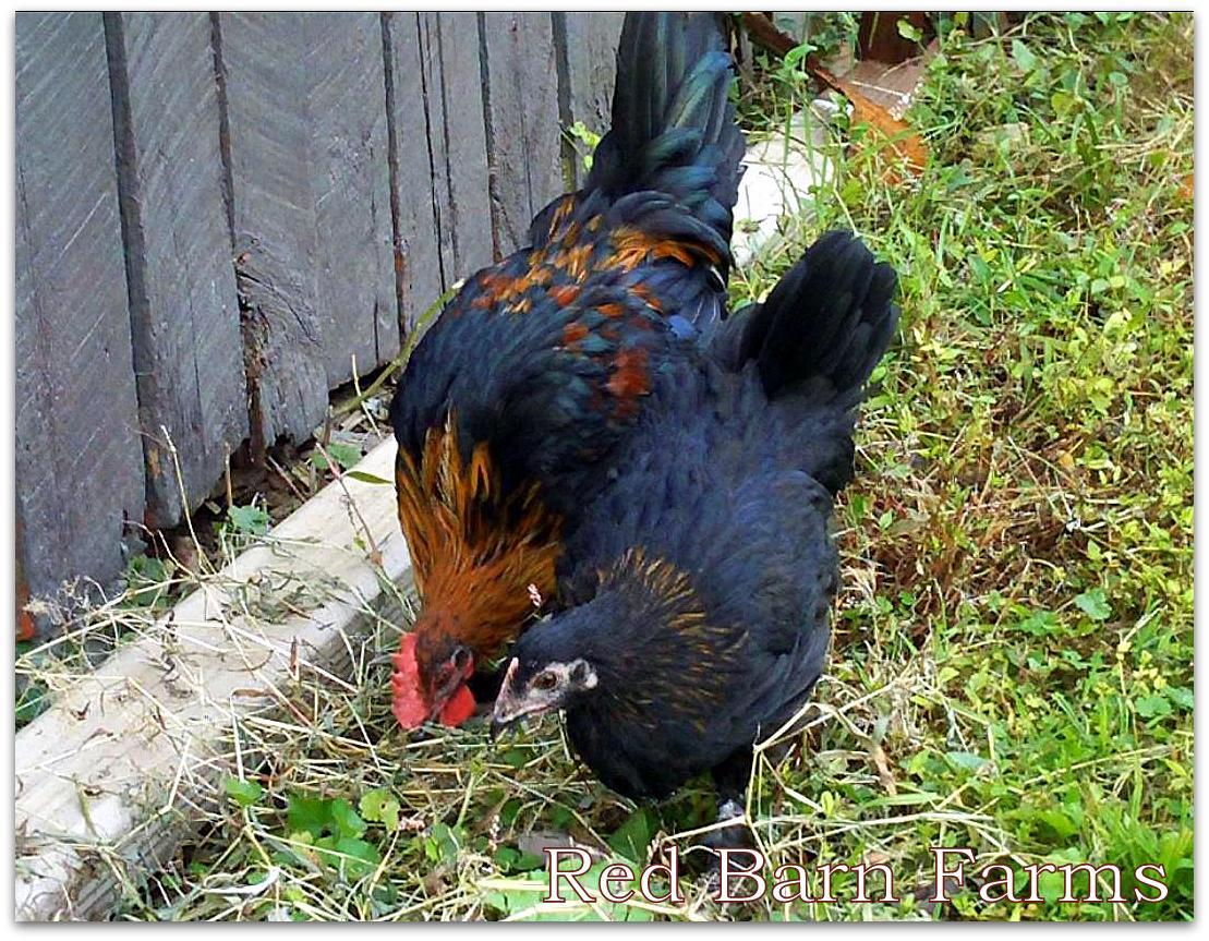 French Black Copper Marans