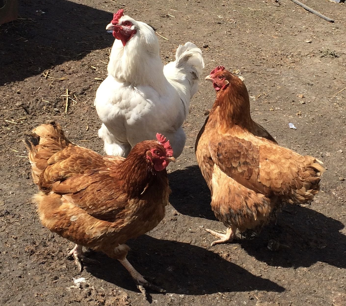 Dave C's photos in Sustainable Meat  / Standard Bred Dual Purpose Bird Thread.