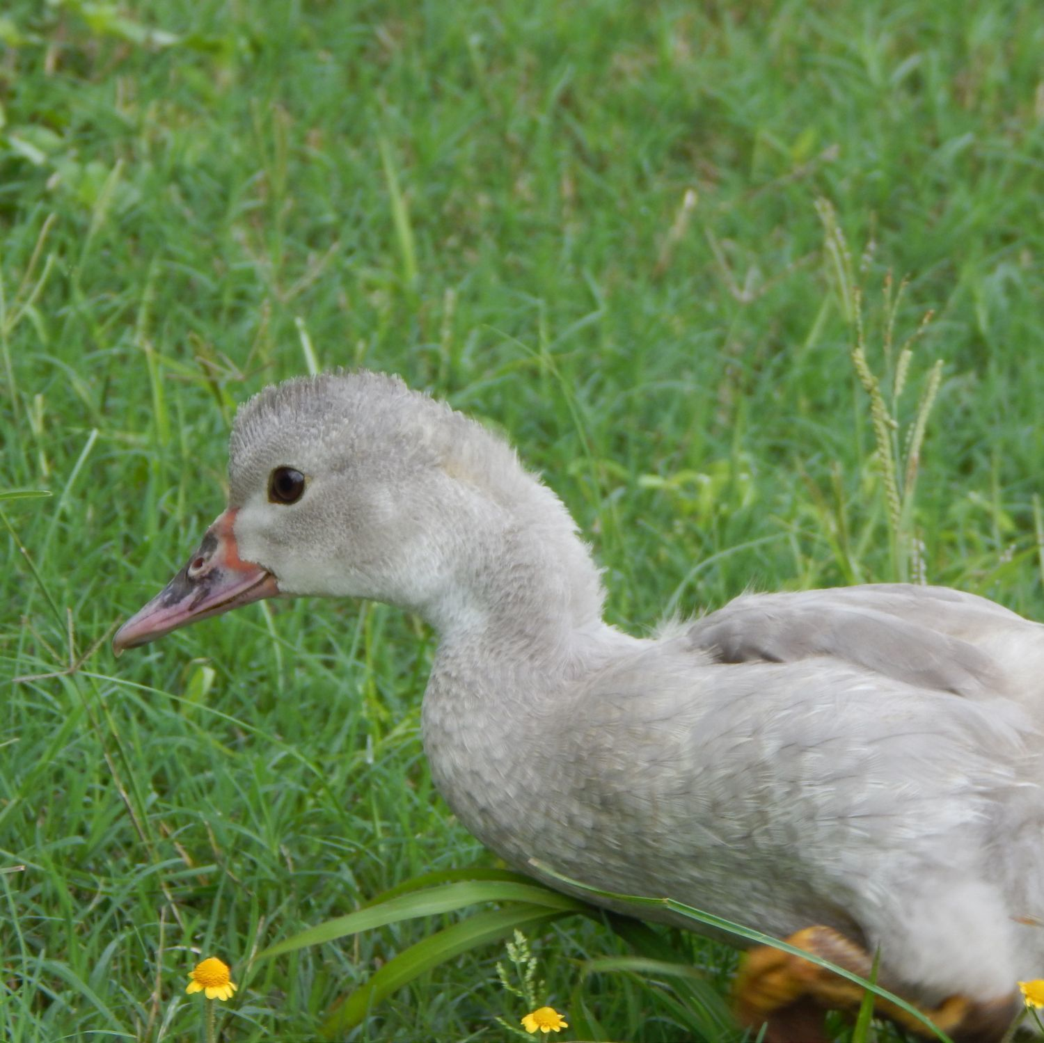 Misty, juvenile Muscovy, the epitome of cuteness.