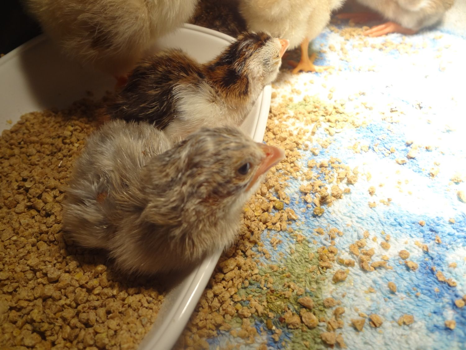 Sleepy little Guinea Keets