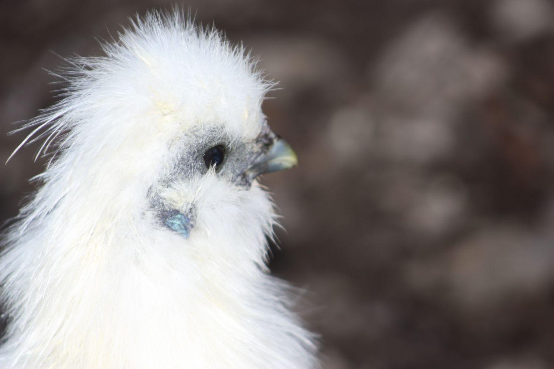 Nov14.15 - chickens and stuff 108.JPG