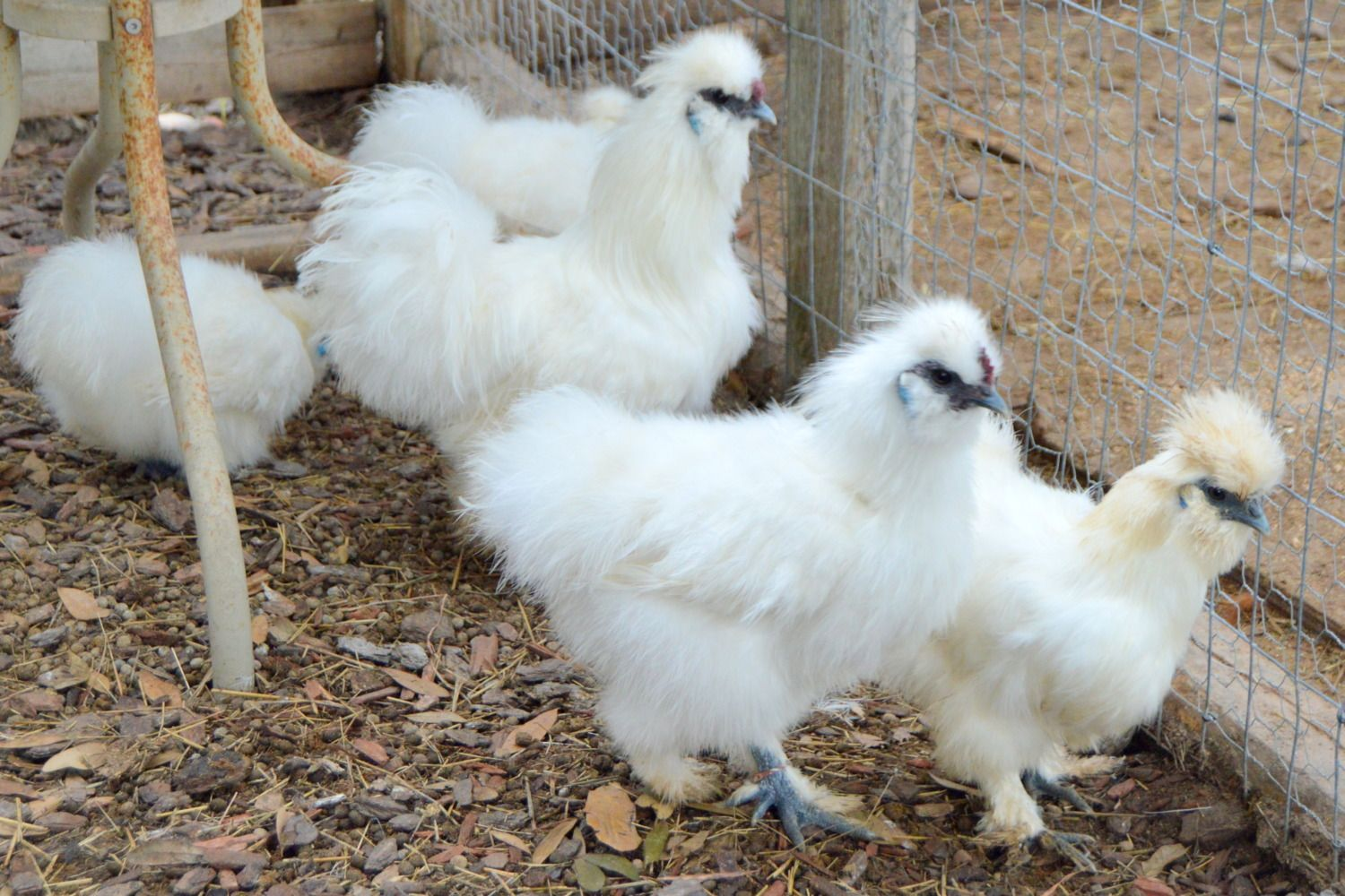 Love my Silkies! <3 