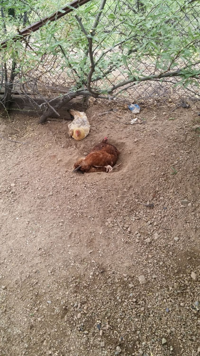 Over Easy &  Brown Betty taking their dirt baths