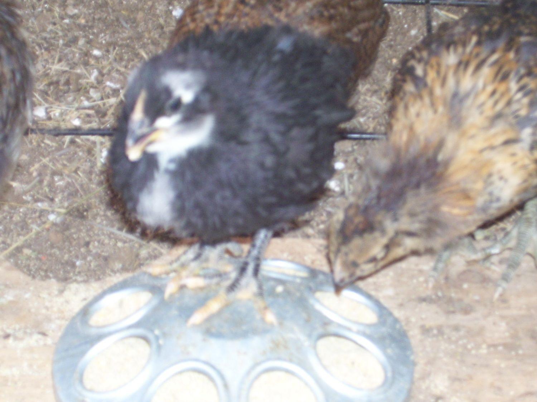 chickens 071.JPG