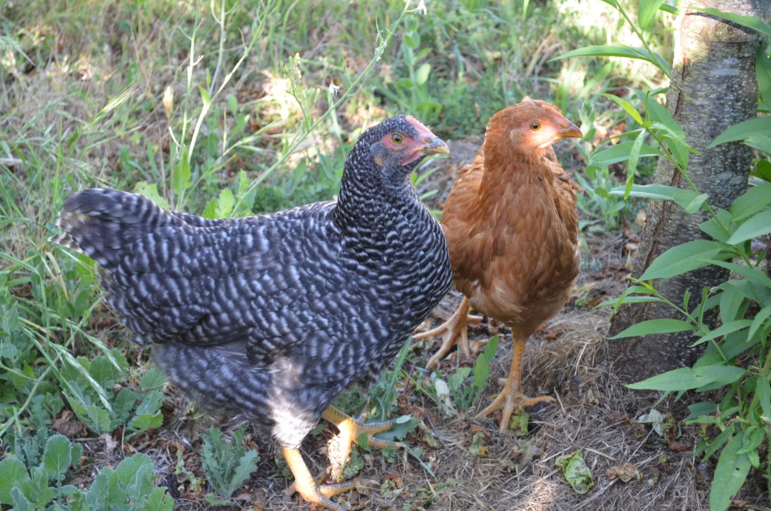 Wishing4Wings's photos in Barred Rock Pullets?!?