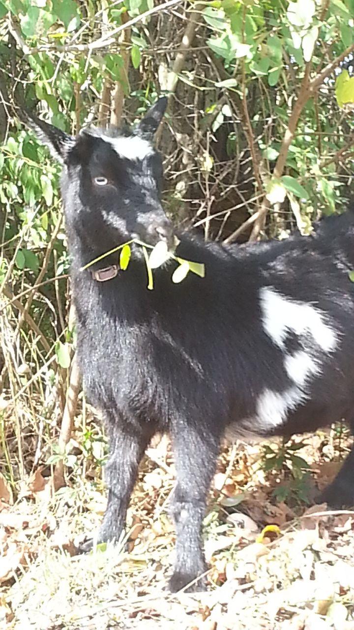 silkieloverz123's photos in Prehnant goat.