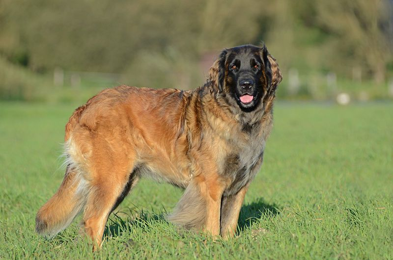 File source: http://commons.wikimedia.org/wiki/File:Leonberger_Huendin.JPG