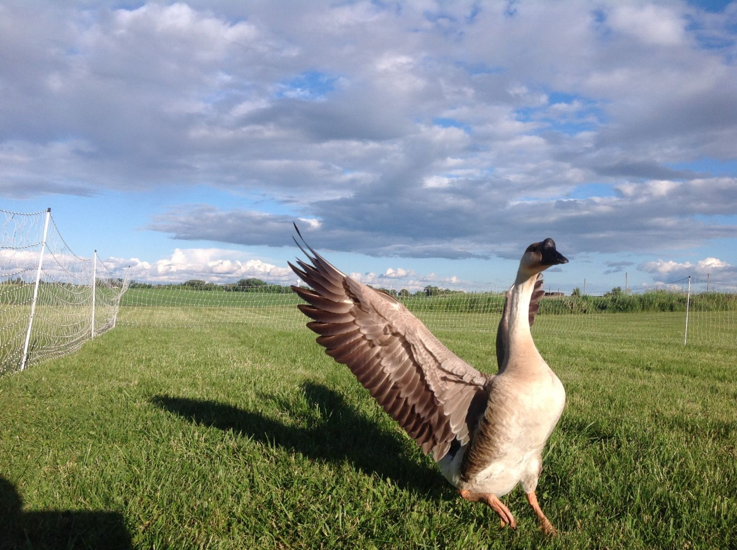 NathanZee's photos in My Geese and Goslings