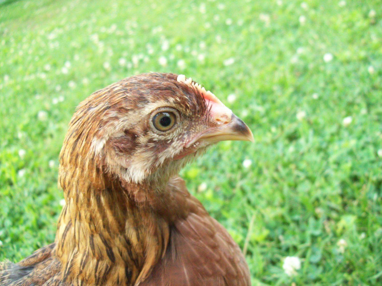 GertrudeLover01's photos in Chicken Standoff I Captured!
