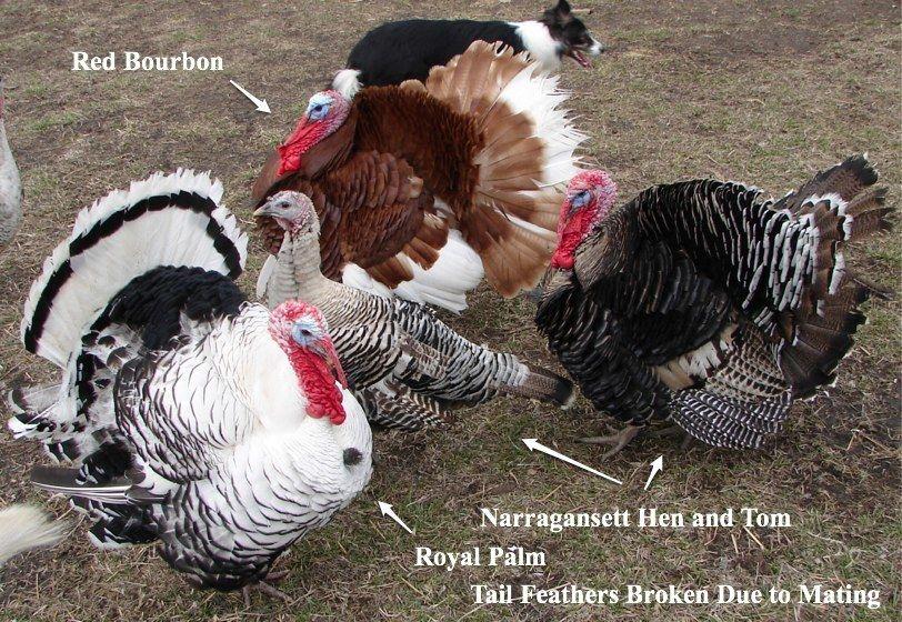 Bourbon red turkey poults - photo#13