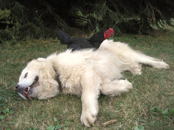 CUDA's photos in Great Pyrenees Pups