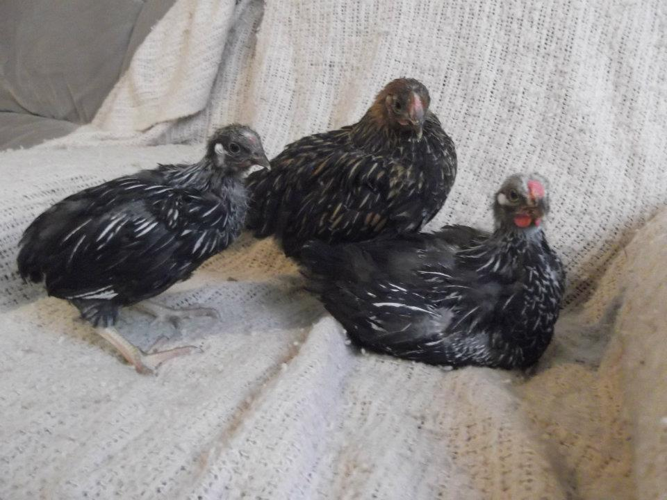 primalchick's photos in 6 week old Wyandottes - 4 I'm still unsure of their sex, any guesses from you guys?
