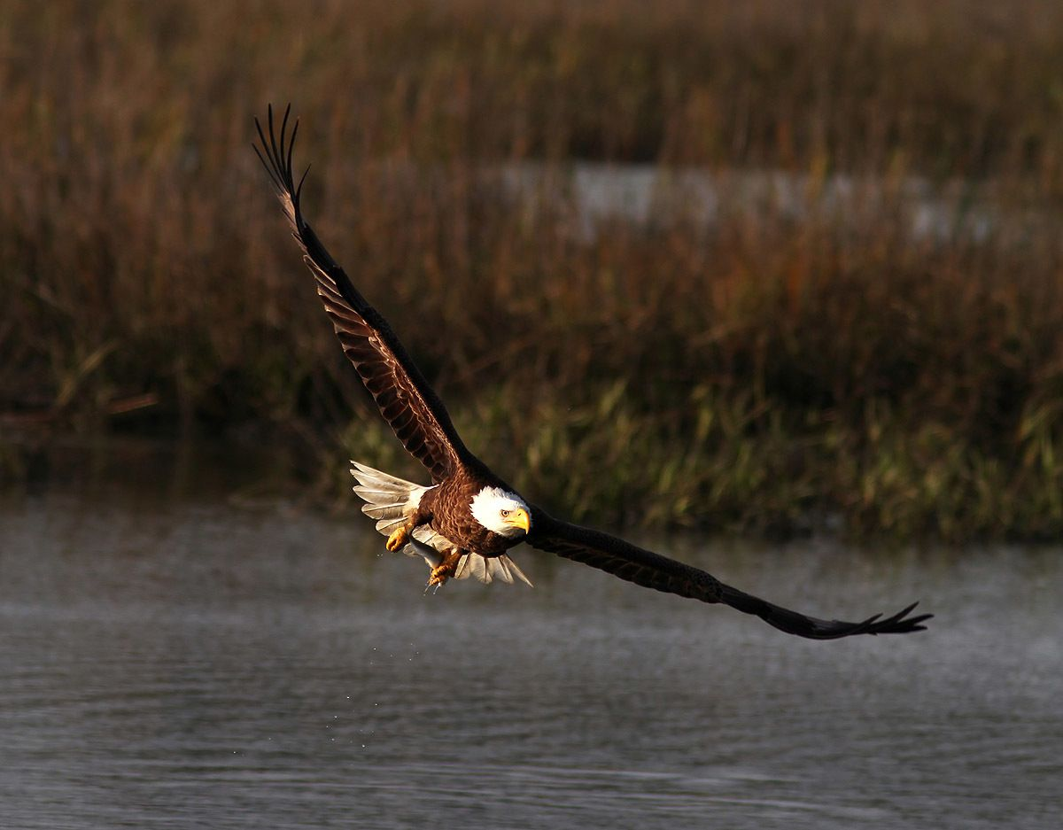 bald-eagle-fishing-in-the-marsh-06.jpg
