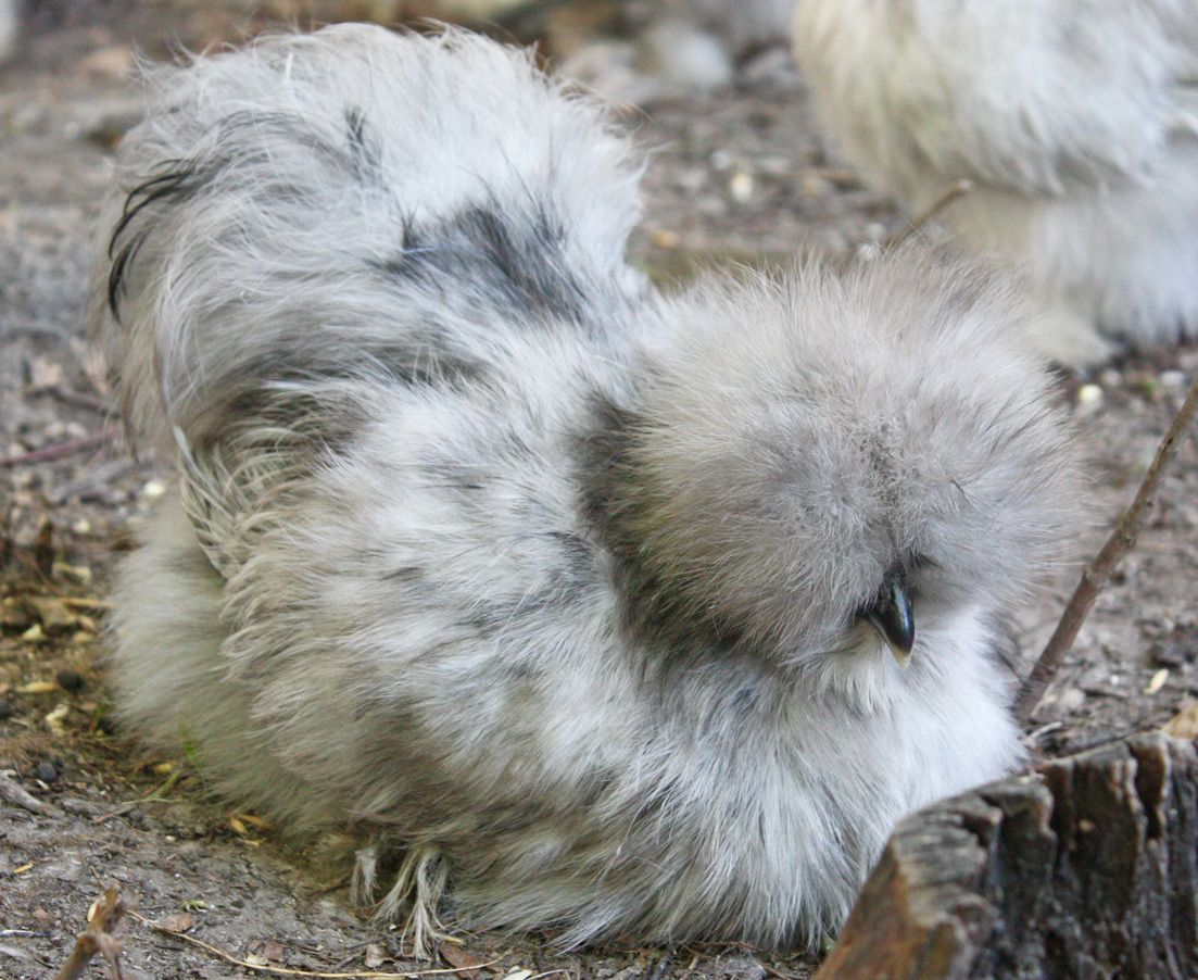 I love splash silkies!