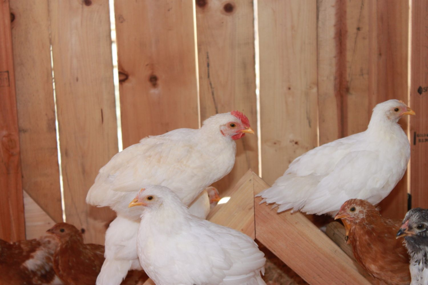 OLD ADOBE's photos in Pullet or Cockerel White Leghorn