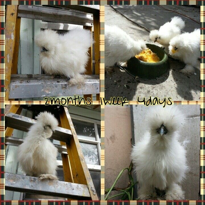 iguanasal's photos in Breeding a Black and White Silkie???