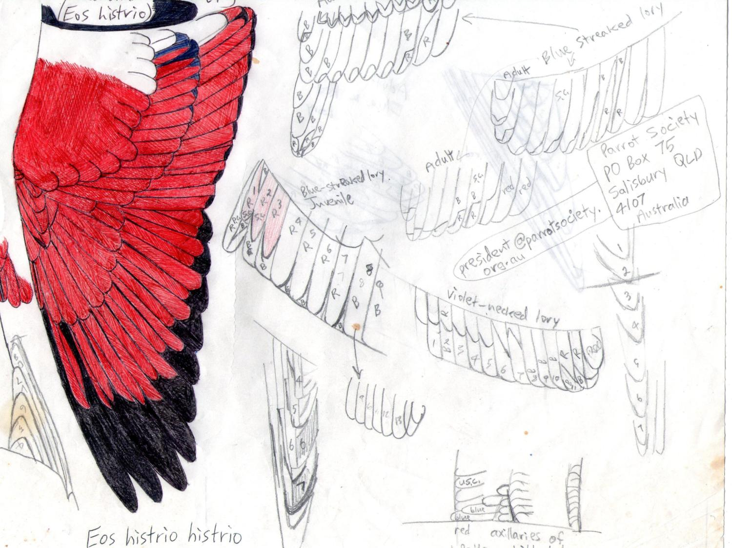 Wing of Blue and Red lory (eos histrio histrio)