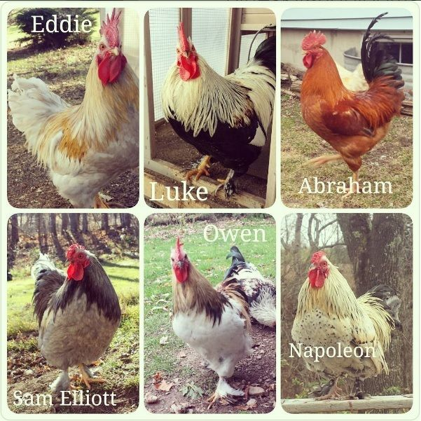 Hand-raised Roosters in need of homes : )