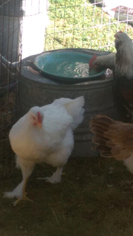 Bawk2theFuture's photos in Free White Cochin Cockerel NE OHIO