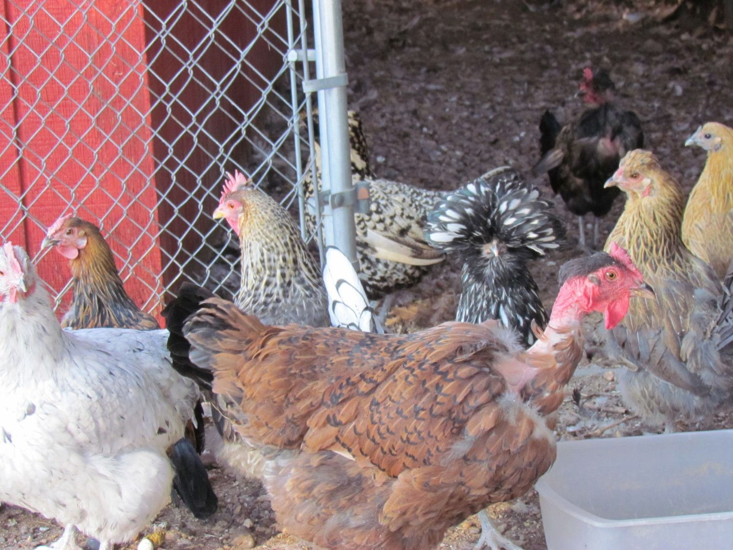BlueLaced Red Wyandotte/NN calm layer of large eggs