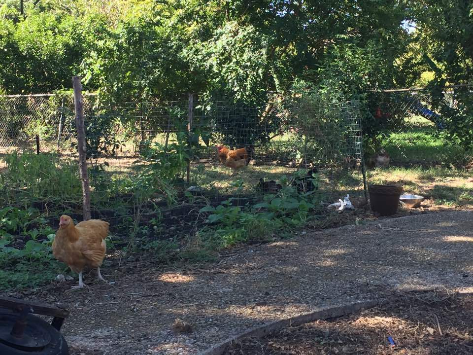 melishkia's photos in Topic of the Week - Gardening with Chickens