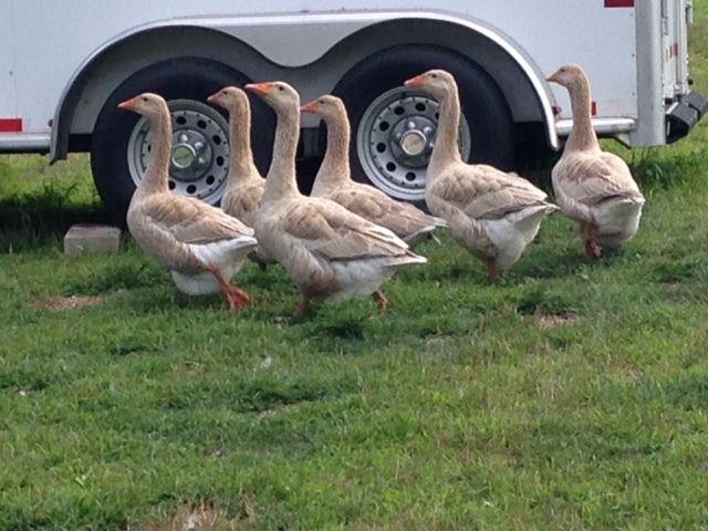 American Buff Geese