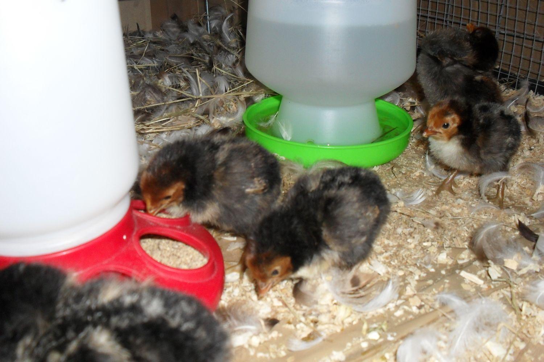 2 day old Golden Spangled Hamburg pullet chicks.