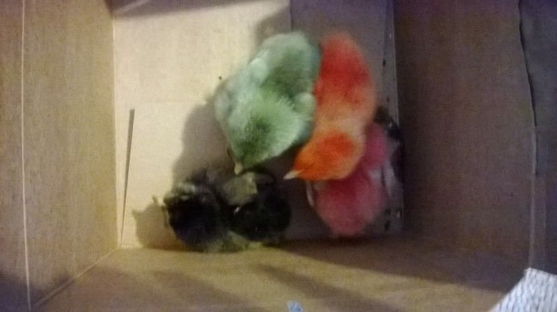 Colored baby peeps I was given