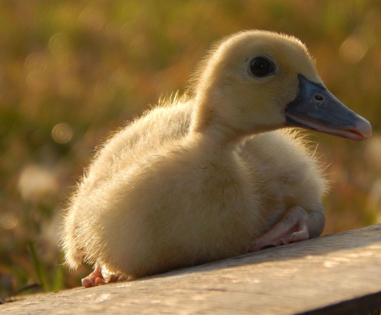 Skylar - a Muscovy duckling.
