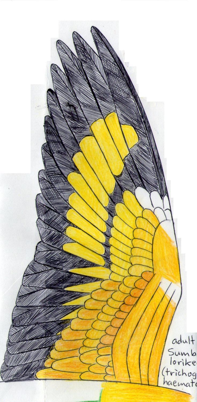 Sumda lorikeet wing.