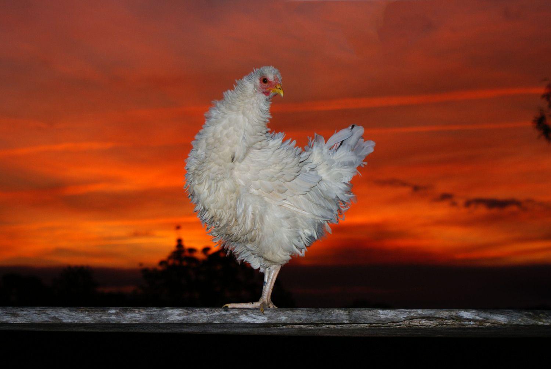 cluckcluckluke