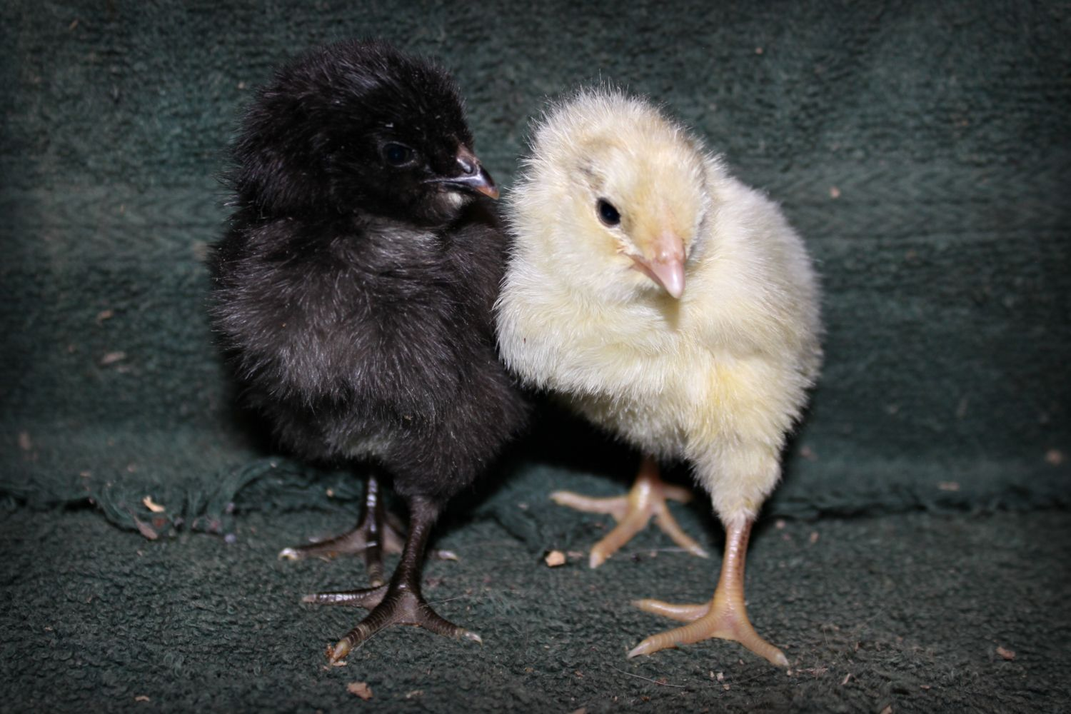 kara1015's photos in Fifth Annual BYC NYD Hatch-A-Long Cutest Chick contest