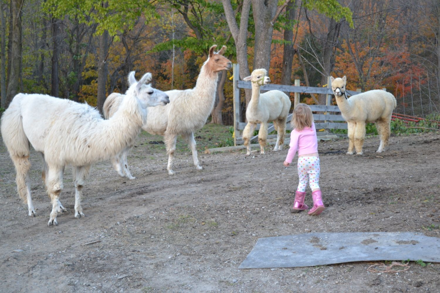 Sebrightmom's photos in Sad news about Preston the alpaca