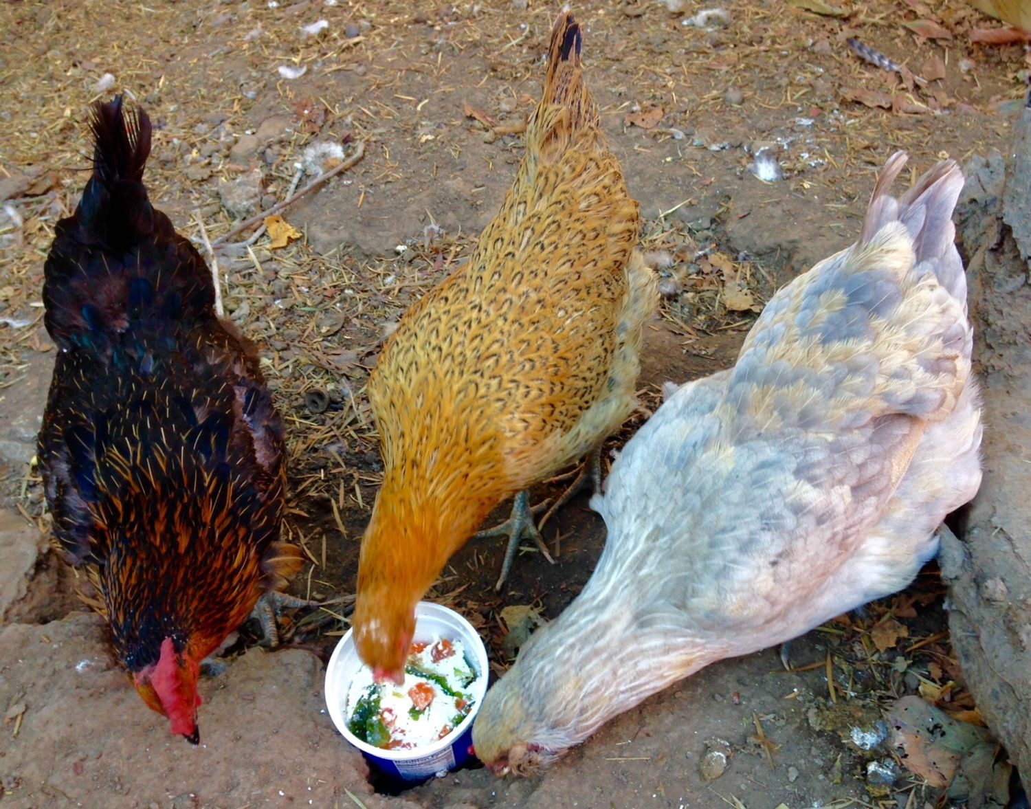 Phyllis (black sexlink and super egg layer), Beatrix and Deedee (both Easter Eggers who lay green eggs).