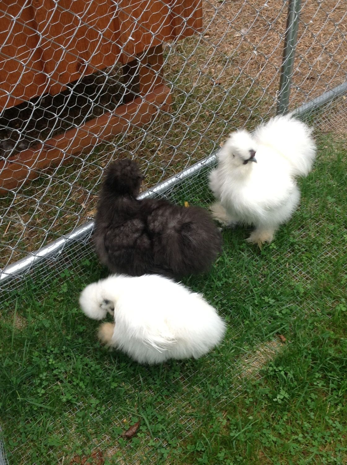My Silkie's what are they?