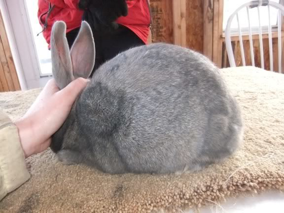 Bunnylady's photos in New Zealand Rabbit Genetics Question