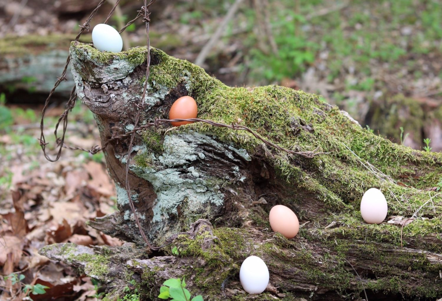pioneerchick816's photos in Contest #7 Natural egg contest - 8th Annual BYC Easter Hatch-a-Long!
