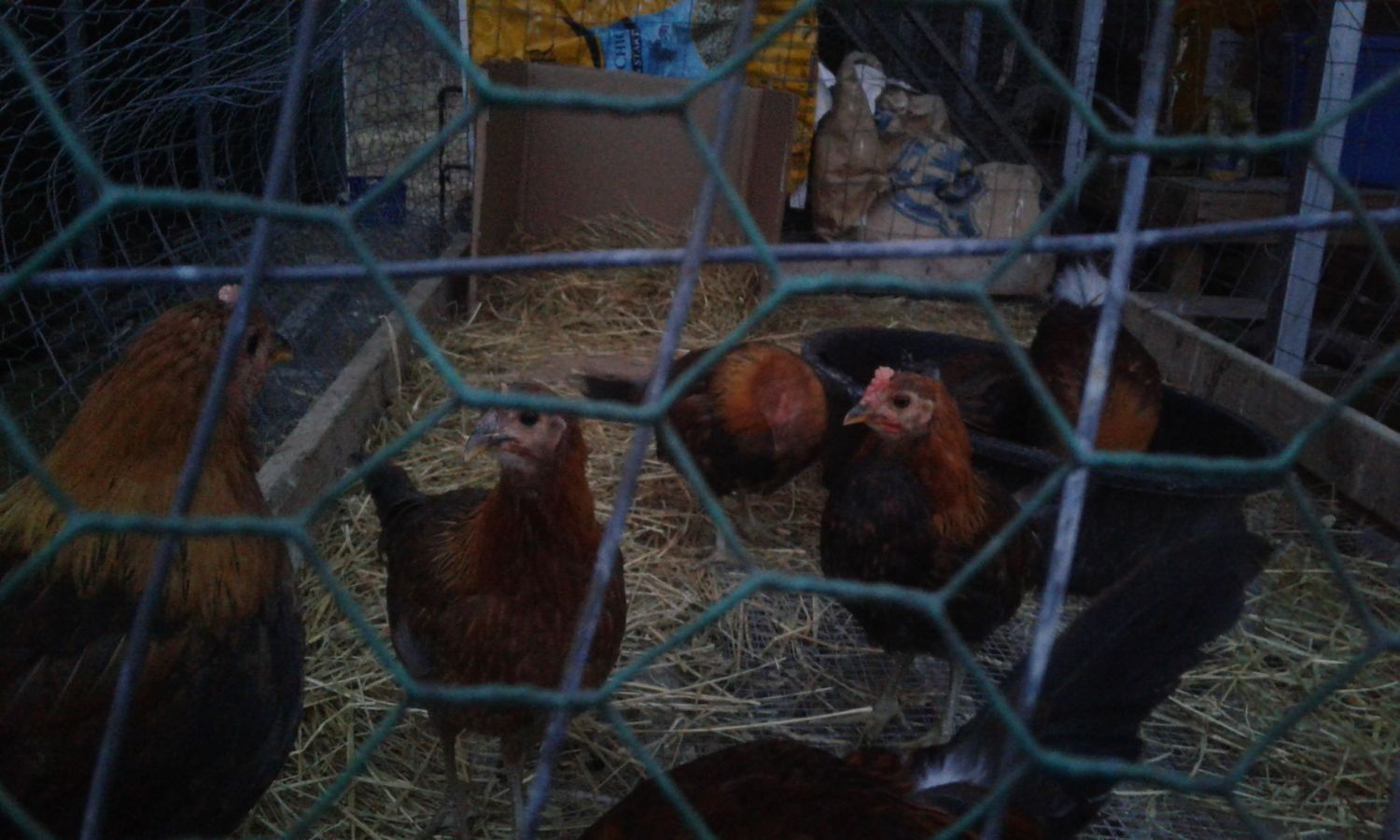 centrarchid's photos in Rearing Young Chickens in Winter Without Supplemental Heat in a Barn